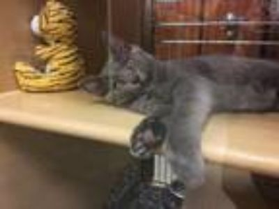 Adopt Rocco a Domestic Short Hair
