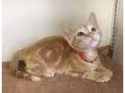 Adopt Gizmo a Orange or Red Domestic Shorthair / Domestic Shorthair / Mixed cat