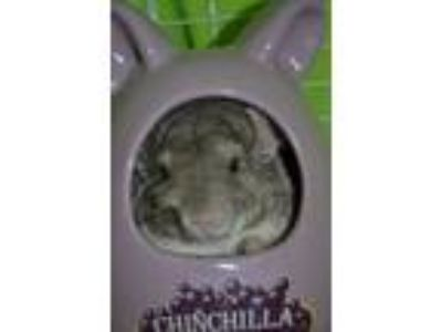 Adopt Georgie a Tan or Beige Chinchilla small animal in Lindenhurst