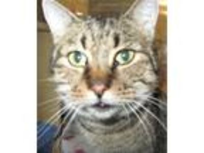 Adopt Paula a Brown Tabby Domestic Shorthair / Mixed (short coat) cat in Logan