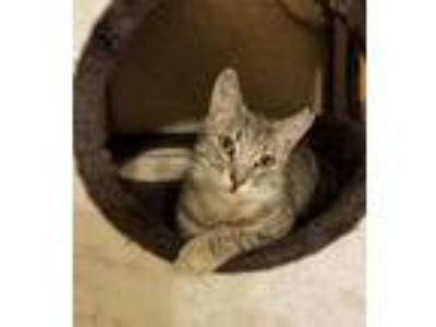 Adopt Harry Houdini a Gray, Blue or Silver Tabby Domestic Shorthair / Mixed