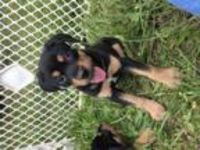 Adopt Larkspur a Black - with Tan, Yellow or Fawn Rottweiler / Labrador