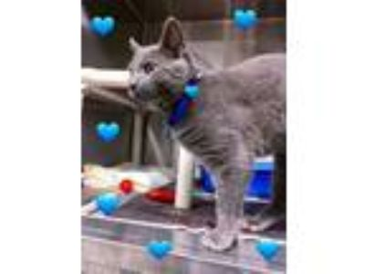 Adopt CODY - Young Adult! a Domestic Short Hair, Russian Blue