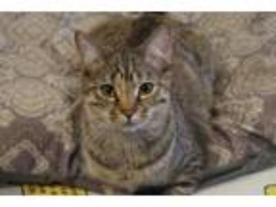 Adopt Ada a Domestic Short Hair