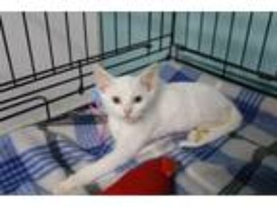 Adopt Ella a White Domestic Shorthair (short coat) cat in Loogootee