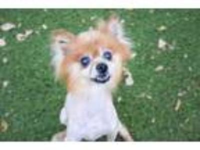 Adopt Dale a Red/Golden/Orange/Chestnut Pomeranian / Mixed dog in Clearwater