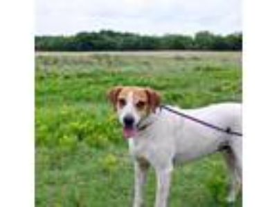 Adopt Freckles a Red/Golden/Orange/Chestnut Rhodesian Ridgeback dog in Kaufman