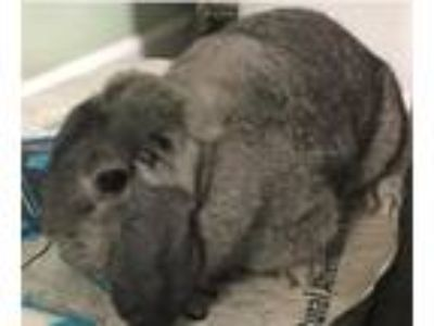 Adopt Allegra a Other/Unknown / Mixed rabbit in Pearblossom, CA (20554011)
