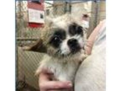 Adopt Pearl a White - with Red, Golden, Orange or Chestnut Shih Tzu / Mixed dog