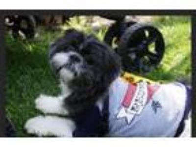Adopt Edwin a Black - with White Shih Tzu / Mixed dog in N.