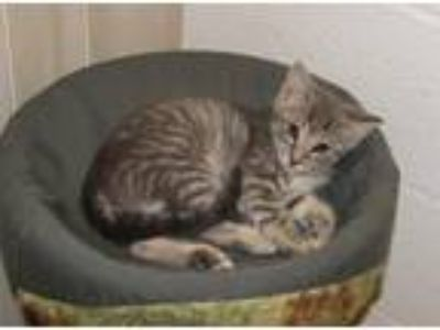 Adopt Ghazi (baby boy) a Gray, Blue or Silver Tabby Domestic Shorthair / Mixed