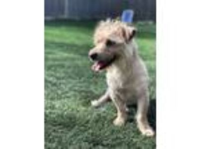 Adopt Houston a Tan/Yellow/Fawn Terrier (Unknown Type, Medium) / Mixed dog in