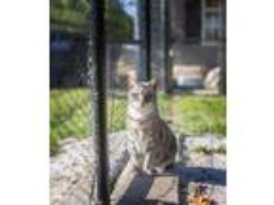 Adopt Elijah a Gray, Blue or Silver Tabby Domestic Shorthair / Mixed cat in