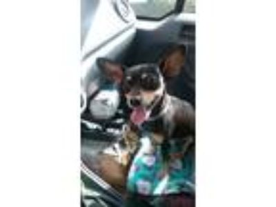 Adopt Fee Fiona a Black - with Tan, Yellow or Fawn Miniature Pinscher / Mixed