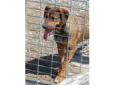 Adopt Buzz a Brown/Chocolate - with Black Shepherd (Unknown Type) / Hound