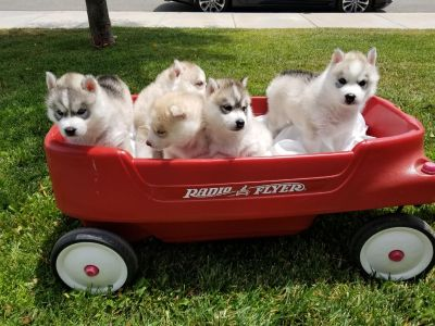 Radio Flyer Wagon (puppies not included )
