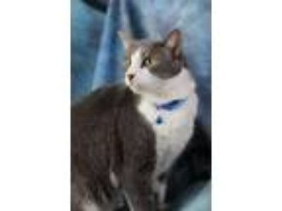 Adopt Roan a Domestic Mediumhair / Mixed (short coat) cat in Neosho