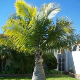 Palm Trees | Palm Tree Depot