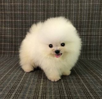 Pomeranian PUPPY FOR SALE ADN-98649 - Teacup White Pomeranian puppy 4 SF LA NY SEA