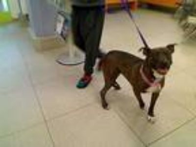 Adopt UNKNOWN a Black - with White American Pit Bull Terrier / Mixed dog in