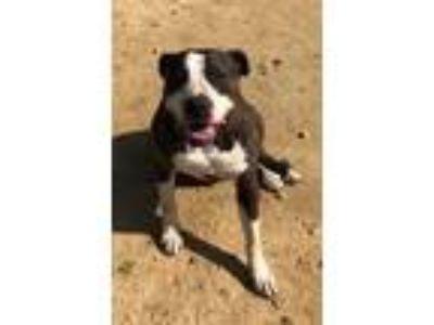 Adopt Titan a Pit Bull Terrier, Hound