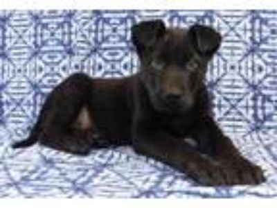 Adopt Hank a Black German Shepherd Dog / Mixed dog in Morton Grove