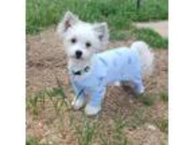 Adopt Lexi- no longer accepting applications a Poodle, Chinese Crested Dog