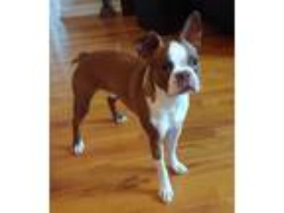 Adopt Oliver a Boston Terrier
