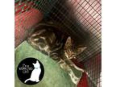 Adopt Burmese Python a Brown or Chocolate Domestic Shorthair / Domestic