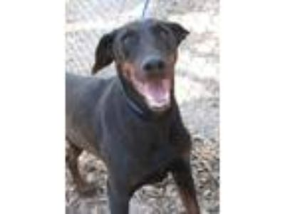 Adopt Lorna a Black - with Tan, Yellow or Fawn Doberman Pinscher / Mixed dog in