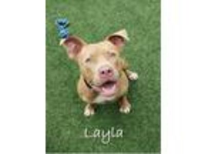 Adopt Layla a Tan/Yellow/Fawn American Pit Bull Terrier / Mixed dog in
