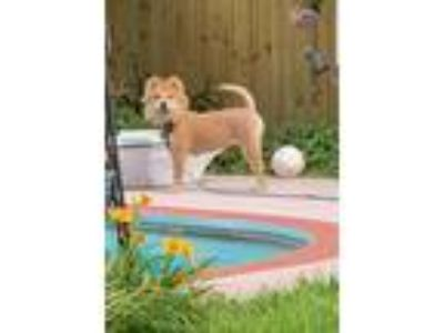 Adopt Delta a Tan/Yellow/Fawn - with White Chow Chow / Mixed dog in Houston