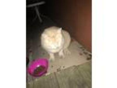 Adopt Waffle a Tan or Fawn Domestic Shorthair cat in Sunrise, FL (24793018)
