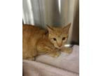 Adopt Atlas a Tan or Fawn Tabby Domestic Shorthair (short coat) cat in Chandler