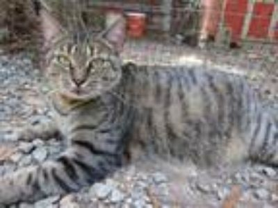Adopt Ms. Kitty (Sponsored) a Domestic Short Hair