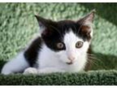 Adopt Thorn a Domestic Short Hair