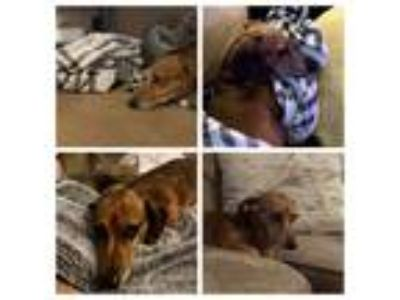 Adopt Louie-Ella a Brown/Chocolate - with White Dachshund dog in Pittsboro