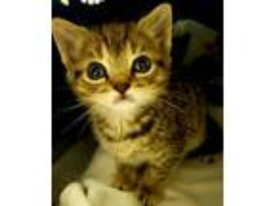 Adopt Lupe a Tabby