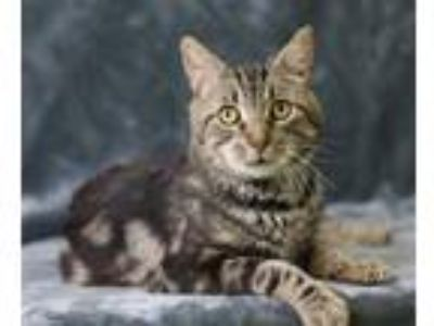 Adopt Arnold Palmer a Brown or Chocolate Domestic Shorthair / Domestic Shorthair