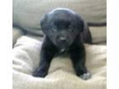 Adopt The T-Litter Pups a Border Collie, Black Labrador Retriever