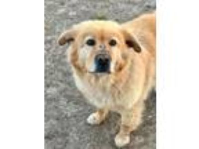 Adopt Cagney a Chow Chow