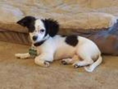 Adopt Howard a Papillon, Corgi
