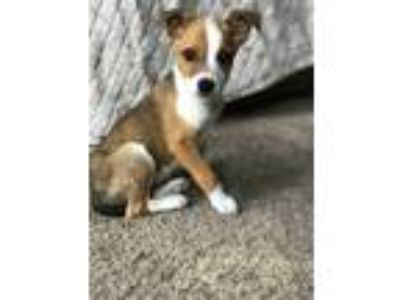 Adopt Isabel a Red/Golden/Orange/Chestnut - with White Fox Terrier (Smooth) /