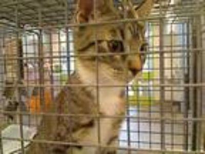 Adopt GEORGE a Brown Tabby Domestic Shorthair / Mixed (short coat) cat in Rancho
