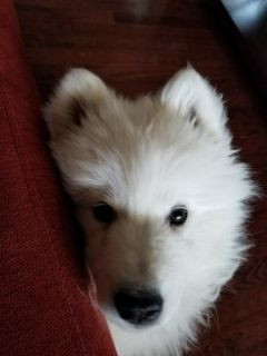 Samoyed PUPPY FOR SALE ADN-101523 - Looking to rehome my samoyed puppies