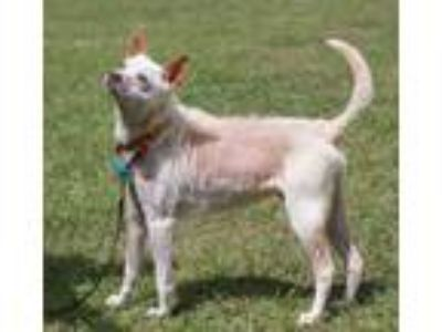 Adopt Ghost a White - with Tan, Yellow or Fawn Terrier (Unknown Type