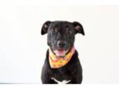Adopt Pippi a Black Labrador Retriever / Mixed dog in Seattle, WA (21784784)