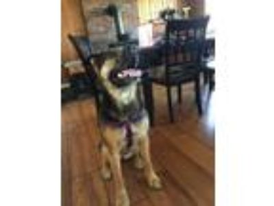 Adopt Gracie with FLD/Vermont a German Shepherd Dog, Boxer