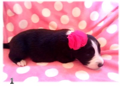 Border Collie PUPPY FOR SALE ADN-107935 - BORDER COLLIE PUPPIES  PURE BRED ARIZONA