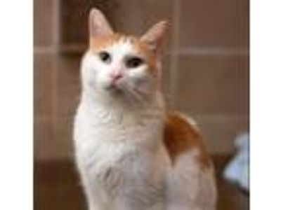 Adopt Blue a Domestic Shorthair / Mixed (short coat) cat in Troutdale